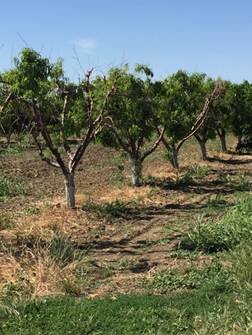 Photo 2. Same orchard on June 1, 2017 with new shoot growth after soil dried out.