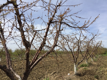 Photo 1. Peach collapse from waterlogging taken April 5, 2017