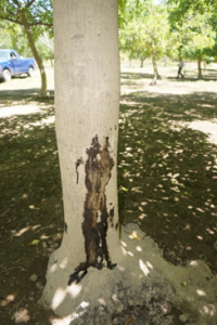 Bleeding cankers associated with aerial Phytophthora on a river bottom walnut tree