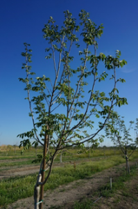 Late leaf out of waterlogged Chandler on RX1 rootstock. The tree on the right appears to be recovering as soil dries out (taken on May 23, 2017).