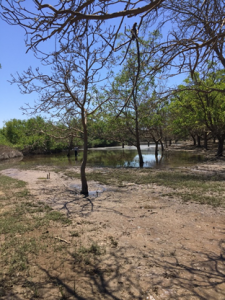 Photo 7. Walnut in foreground collapsed in a swale of flood water that we sampled (background) in the river bottom (taken on May 23, 2017). All photos taken by Janine Hasey.