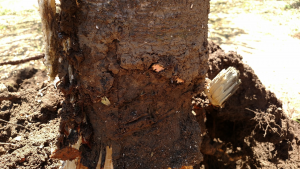 The bark and conductive tissue has been removed around the crown of this tree, effectively girdling it.