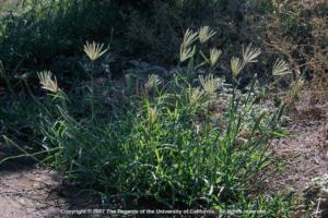 Feather fingergrass plant. Photo: J.M. DiTomaso