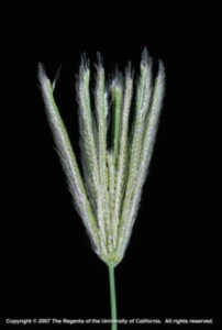 Feather fingergrass inflorescence.