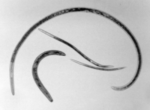 The four primary types of nematode: ring nematode, root lesion nematode, root knot nematode, and dagger nematode.