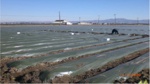 Anaerobic soil disinfestation in strawberries. Photo: UC Cooperative Extension, Santa Cruz County.