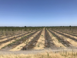 View of young Chandler orchard on RX1 rootstock from the Sacramento River levee on June 29, 2017.