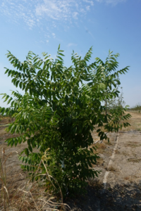 Where grafts had failed, the RX1 clonal Paradox rootstock grew vigorously.