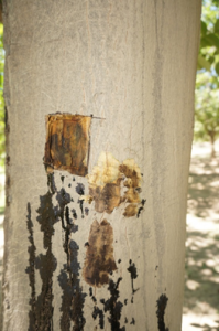 Bleeding cankers associated with aerial Phytophthora on river bottom walnut trees on August 8, 2017. After bark removal, note the margin between healthy and diseased tissue where the canker is advancing.