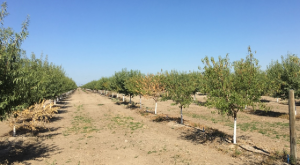 A row on Monterey on Krymsk 86 rootstock on July 14th, 2017.