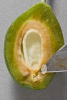 Figure 1. Extraction of the endosperm on a developing prune.