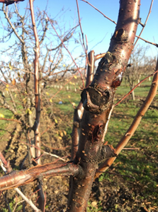 Pruning wound infections on 5th leaf interplanted prune tree.