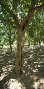 Bleeding cankers associated with aerial Phytophthora on a river bottom walnut tree (August 2017).