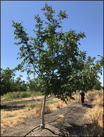 "4th leaf Chandler on RX1. Soil cores collected on June 29, 2017 found standing water at 25"" soil depth. This tree was located on higher ground. Photo: A. Volder."