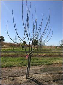 "4th leaf Chandler on RX1. Soil cores collected on June 29, 2017 found standing water at 25"" soil depth. This tree in the seepage zone failed to push. Photo: A. Volder."