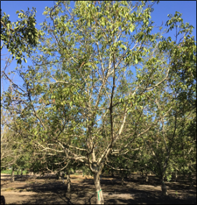 Topping or heading this tree is unlikely to help in tree survival. Photo: J. Hasey.