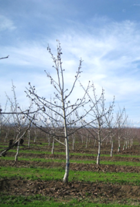 An unpruned tree at the end of the third growing season. Note short shoot growth on primary branches. Photos by B. Lampinen.