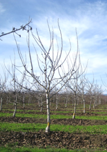 A minimum pruned tree at the end of the third growing season. Note the secondary scaffold extension growth from heading cuts. Photo: B. Lampinen.