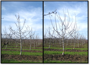 Side by side comparison of a unpruned (left) and minimum pruned tree (right) at the end of the third growing season.
