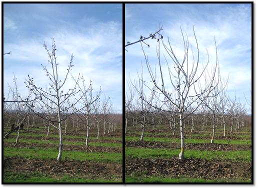 Training Young Walnut Trees: No Pruning/No Heading vs