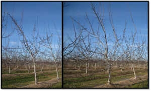 Side by side comparison of unpruned tree (left) and minimum pruned tree (right) after 4th growing season.