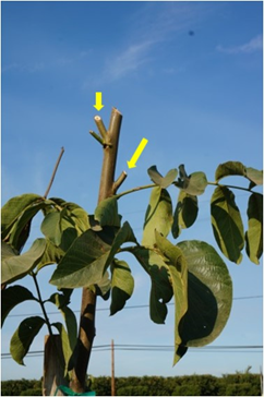 1st leaf tree headed in July forcing primary buds (yellow arrows) that were headed again in September. (J. Hasey)