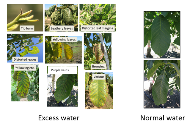 The photos below show various symptoms observed on trees that were intentionally over-irrigated throughout the season. Leaf photos labeled 'normal water' were taken at a similar time of the season on trees that were not over-irrigated.