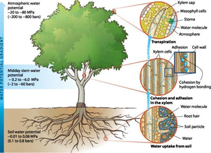 Illustration of how water moves from the soil through the tree and into the atmosphere, from both a whole-tree and cellular perspective. SWP measures the water potential gradient that drives this movement of water through the tree. Source: Adapted from Pearson 2008. Upper Saddle River, NJ: Pearson Education Inc.