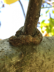 Photo 5. Growths at the collar or base of branches.