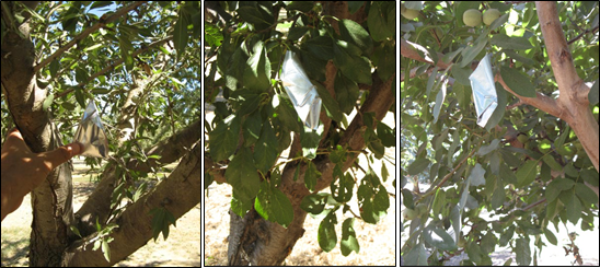 From left to right, healthy, full grown leaves are selected in the lower interior canopy of an almond, prune, and walnut tree near larger branches and covered with mylar foil bags for at least ten minutes. Walnut has a compound leaf, so the terminal leaflet is selected because it has a longer petiole which assists the measurement. (Photos: A. Fulton)