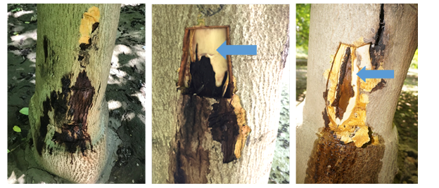 Bleeding cankers associated with aerial Phytophthora on river bottom walnut trees in May (left), June (center), and July (right). New tissue is forming around cankers in June and July as indicated by blue arrows. Photo credit - Luke Milliron (left), Janine Hasey (center & right).