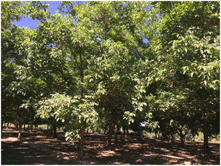 Overall tree canopies appear healthy in a severely aerial Phytophthora infected river bottom orchard in June 2018. Photo credit - Janine Hasey.