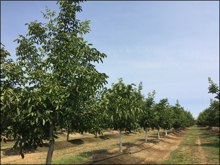 July 2018 growth response of 2017 flood damaged 5-year-old trees that were topped in May 2017 (trees with white trunks) vs. a less affected tree in the foreground that had little pruning. Photo credit - Janine Hasey.