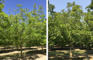 This Chandler orchard experienced prolonged flooding in 2017. Tree prior to light topping of upper limbs on May 3, 2018 (left). Same tree on August 2, 2018 (right). Photo credit – Janine Hasey.