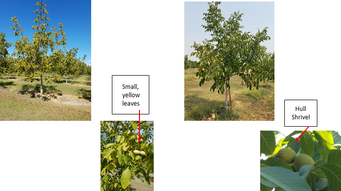 Over-irrigated conditions that result in long periods of no or very low tree stress (-2 to -4 bars) may result in a variety of symptoms including leaves with tip burn, declining trees with small, yellow leaves (left). Refer to http://www.sacvalleyorchards.com/walnuts/irrigation-walnuts/leaf-symptoms-overwatered-walnuts/ for more pictures. Under-irrigated trees that result in extended periods of high and very high tree stress, -12 bars tension and lower, may cause trees to stop growing, scorched leaves, interior defoliation, and hull shrivel (right).
