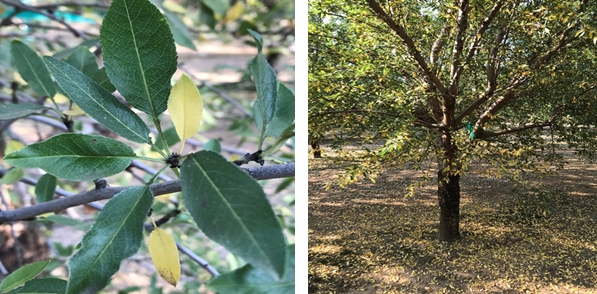"High water stress in almonds can result in yellowing and leaf loss, which often begins with the smallest ""guard leaf"" on the spur. High water stress in a mature orchard (-30 bars tension and lower) can result in severe defoliation."
