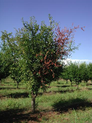 The severe water stress of -20 bars or more in prune over a long period, may predispose orchards to higher incidence of canker diseases, like Cytospora (photo by Franz Niederholzer).