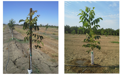 Left photo: Poor shoot growth in mid-June associated with high SWP stress levels (6 to 8 bars below baseline). Right photo: Improved shoot growth in mid-July resulting from SWP recovering to near baseline values after irrigation and only falling to 3 bars below before the next irrigation.