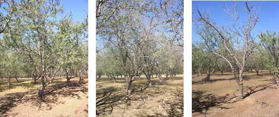 Left photo: Less defoliation after harvest and larger canopy size of a Nonpareil tree when irrigation was managed to keep SWP levels to a maximum water stress of approximately -20 bars during the season. Middle photo: More defoliation after harvest, but similar canopy size for a Nonpareil tree when irrigation was managed to keep SWP to a maximum water stress of about -35 bars during the growing season. Right photo: Complete defoliation after harvest, and reduced shoot growth of a Nonpareil tree where irrigation was withheld all season and SWP reached a maximum water stress of approximately -60 bars. Photos: Allan Fulton