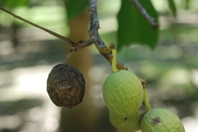 Blighted fruit caused by Botryosphaeria showing pycnidia in early September. Photo: T. Michailides.