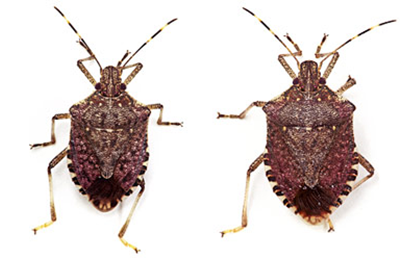 BMSB adults: male (left), female (right) (Source: stopBMSB.org)