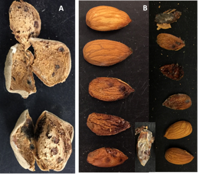 BMSB feeding damage to almonds showed up at harvest, A) hull and shell, B) kernel