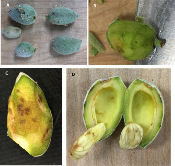 BMSB feeding damage to developing almonds, A) External gumming, B) Pinhole damage, C) Necrotic spots on the fruit, D) Necrotic feeding spots on kernel