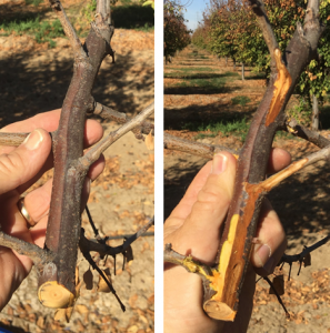 A clearly delineated Cytospora canker (brown dead bark; pruning wound infection) in young prune orchard with widespread infection (fall 2018, photo by Franz Niederholzer).