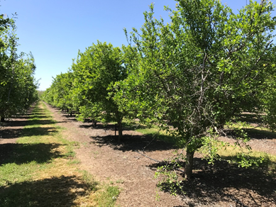 A 15-year-old orchard that has been mechanically 'boxed' for seven years showing branch dieback (tree on the right). The orchard manager had not previously protected pruning wounds with a fungicide but plans to start this year.