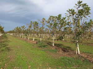 Weeds can be especially competitive in young orchards once trees begin to defoliate in November.