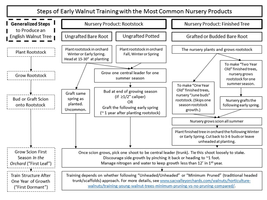 Early Walnut Tree Training: How to Handle Different Nursery