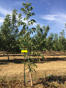Unheaded nursery grafted Chandler on RX1 on October 10, 2018. Yellow arrow indicates unheaded height at planting in February 2018. (Photo: J. Hasey)