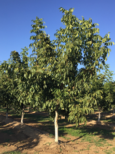Unpruned/unheaded Solano on RX1 in Sutter County was mechanically harvested in 3rd leaf. (Photo: J. Hasey)