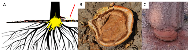 Butt and roots: Ganoderma spp. infections, begin with spores infecting through a wound, at or below the soil surface (A, see arrow). The disease decays the butt of the tree and the tree is killed at windfall (B). The only external sign of the disease is conk fruiting bodies at the base of the tree that appear after extensive rot has already taken place. These disperse airborne spores (A, C).